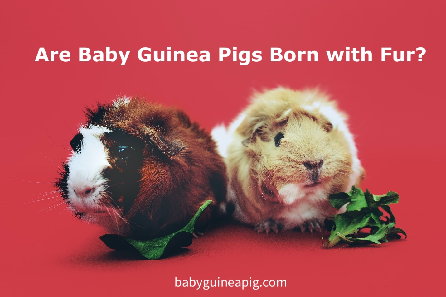 Are Baby Guinea Pigs Born with Fur