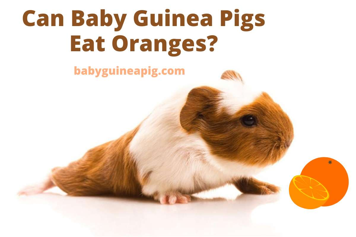 Can Baby Guinea Pigs Eat Oranges