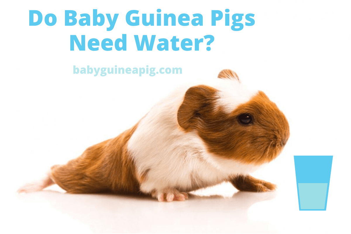 Do Baby Guinea Pigs Need Water
