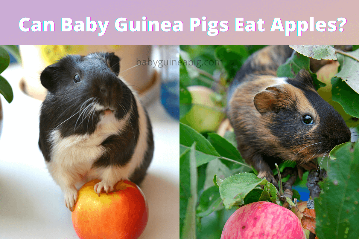 Can Baby Guinea Pigs Eat Apples